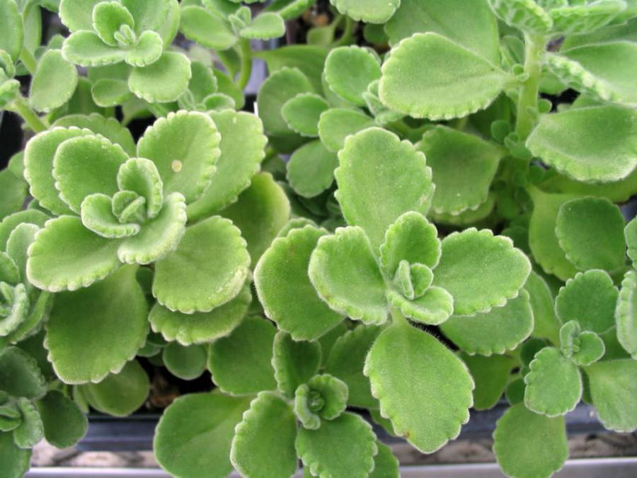 Jak užívat a pěstovat rýmovník